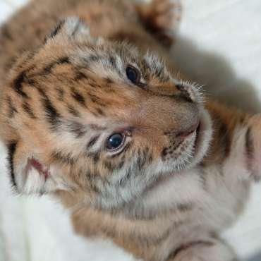 Tigers_(6)